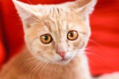 Mały Czerwony figlarki obsiadanie Na Czerwonej poduszce Zdjęcia Stock