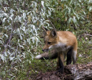 Mały Czerwony Fox Obrazy Stock