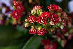 Mały czerwony kwiat Zdjęcie Royalty Free