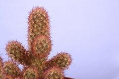 Mały dekoracyjny kaktus Zdjęcia Stock