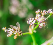 Mały dom komarnicy obsiadanie na kwiacie Zdjęcie Royalty Free