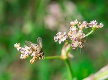 Mały dom komarnicy obsiadanie na kwiacie Obraz Stock