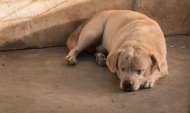 Mały domowy brzydki pies Fotografia Royalty Free