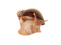 Mały domowy cochlea Achatina Fotografia Stock