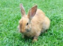 Mały domowy królik na zielonej trawie Zdjęcie Stock