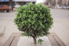 Mały drzewny krzak Fotografia Royalty Free