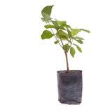 Mały drzewo w flancowanie torbie Obraz Royalty Free