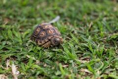 Mały dziecka tortoise Obrazy Royalty Free