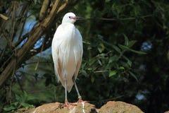 Mały egret Obrazy Royalty Free