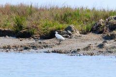 Mały egret, birdwatching Zdjęcie Royalty Free