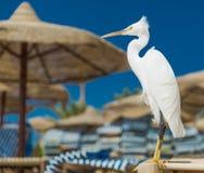 Mały Egret - Egretta garzetta Zdjęcie Royalty Free