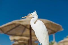 Mały Egret - Egretta garzetta Zdjęcia Stock