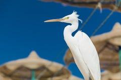 Mały Egret - Egretta garzetta Obraz Stock