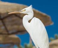 Mały Egret - Egretta garzetta Fotografia Royalty Free