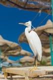 Mały Egret - Egretta garzetta Zdjęcia Royalty Free