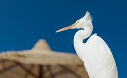 Mały Egret - Egretta garzetta Obrazy Stock