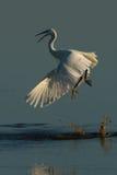 Mały egret fiighting Zdjęcia Royalty Free