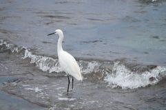 Mały egret lub czapla Obrazy Royalty Free