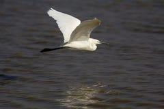 Mały Egret na locie Obraz Stock