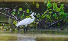 Mały egret patrzeje dla jedzenia w wodzie Fotografia Stock