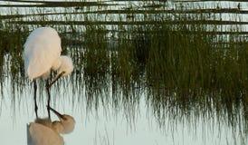 Mały Egret przy brzeg jeziora Obraz Royalty Free