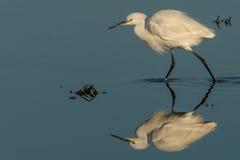 Mały egret przy jeziorem Obraz Royalty Free