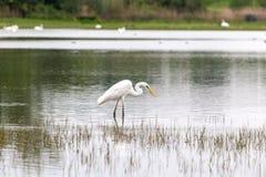 Mały egret szuka dla jedzenia Zdjęcie Stock