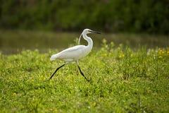 Mały egret szuka dla jedzenia Zdjęcia Stock