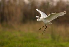 Mały Egret w locie Zdjęcie Royalty Free
