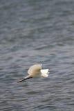 Mały egret w locie Obrazy Stock