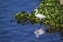 Mały egret w Thabbowa sanktuarium w Puttalam, Sri Lanka Obraz Stock