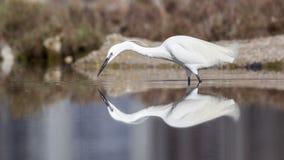 Mały Egret z odbiciem Zdjęcia Royalty Free