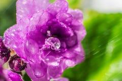 Ma?y fio?kowy kwiat w w g?r? wodnych kropel zdjęcie stock