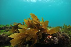Mały frond brown kelp Obraz Royalty Free