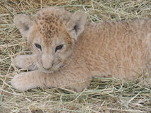 Mały gepard obrazy stock
