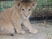 Mały gepard Zdjęcia Royalty Free