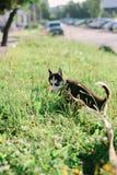 Mały husky psa szczeniak na spacerze Obrazy Royalty Free