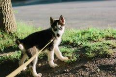 Mały husky psa szczeniak na spacerze Zdjęcie Royalty Free