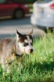 Mały husky psa szczeniak na spacerze Zdjęcie Stock