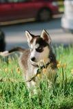 Mały husky psa szczeniak na spacerze Fotografia Royalty Free