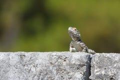 Mały jaszczurki obsiadanie na ruinach sanctury antyczny Asklepion Fotografia Royalty Free
