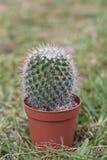 mały kaktus Obraz Royalty Free
