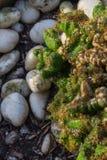 mały kaktus Obraz Stock