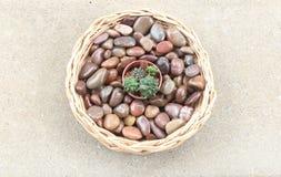 Mały kaktus w koszu Zdjęcie Royalty Free