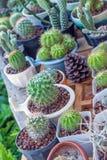 Mały kaktus w kwiatu garnku Obrazy Stock