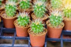 mały kaktusowy garnek Zdjęcia Royalty Free