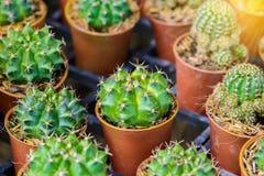 mały kaktusowy garnek Zdjęcia Stock