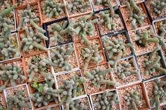 Mały kaktusowy garnek Obraz Royalty Free