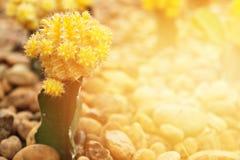 Mały kaktusowy kwitnienie kwiat w kaktusa ogródzie Obraz Stock