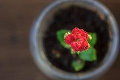 Mały kalanchoe homeplant w przejrzystym garnku Czerwony Kalanchoe kwiat Fotografia Stock